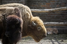 Extremely Rare White Bison Born At Belgrade Zoo