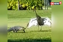 Watch: Crane 'Escorts' Alligator Across Golf Course In Florida In Viral Video