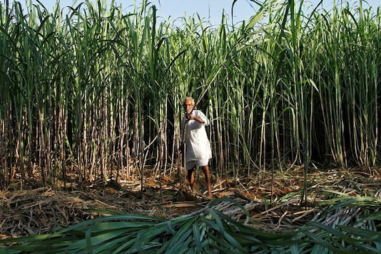A farmer harvests sugarcane in his field. (Image: Reuters)