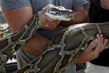 Video Shows Tribals in Tripura Slaughtering Endangered Python For Meat, Investigations On