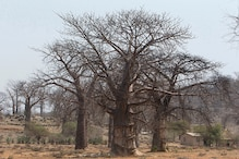 'Tree of Life' Africa's Baobabs is Under Mysterious Threat, Dying Abruptly