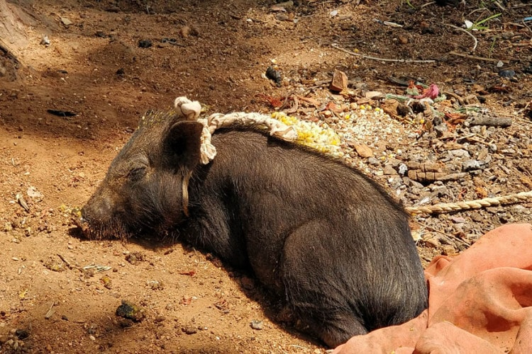 Its not just rat. Musahrs are also known for raising wild pigs and slaughtering them for occasions when needed