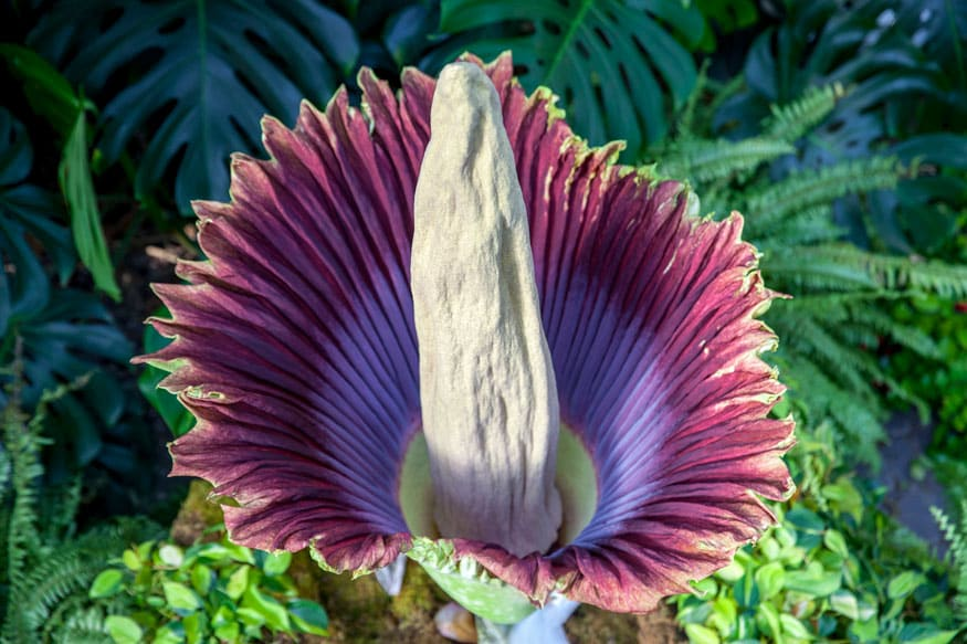 corpse flower blooms