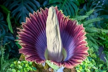 What is a 'Corpse Flower' and Why is Everyone Talking  About It?