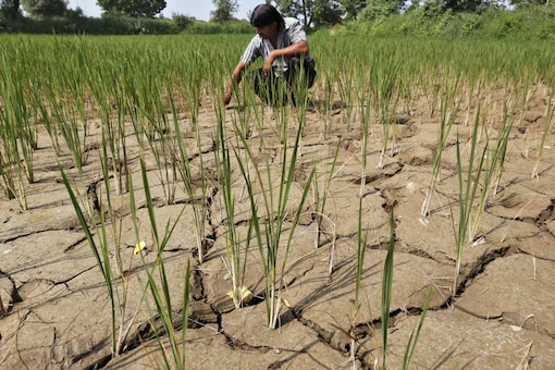A farmer removes dried plants from his parched paddy field. (Representative Image/ Reuters)