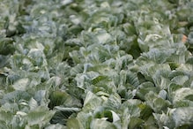 Maha Farmer Razes His Entire 1-acre Cabbage Crop as Prices Fall Amid Virus Lockdown
