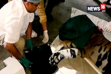 Tiger Injured By Poacher To Get World's First Fake Paw