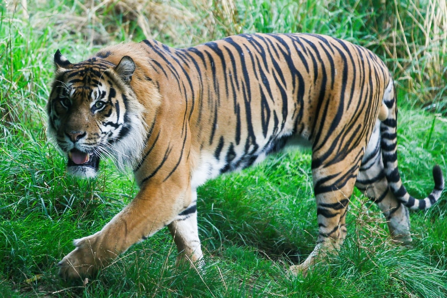 Calvin Klein Perfume Could Be The Unusual Weapon To Rescue Tiger In