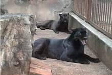 Assam Zoo Celebrates Birth of Two Black Panther Cubs