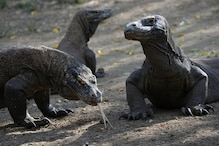 Want to See a Komodo Dragon? Indonesian Governor Says You Have to Fork Over $500