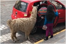 Watch: Video of Pet Alpaca Riding a Taxi Cab in Peru is the Best Thing on the Internet Today