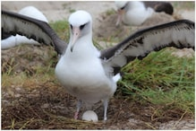 World's Oldest Wild Bird 'Wisdom' is Set to Give Birth to 37th Chick at the Age of 68