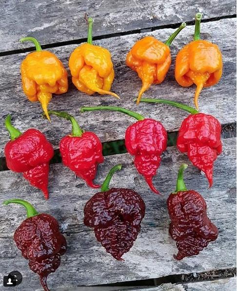 Bhut Jholokia, Naga Chillie or Ghost Pepper