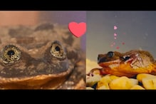 'Where Art Thou?' Romeo, The World's Loneliest Frog, Just Found His Juliet