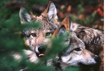 Extinct Red Wolf Genes Found in Pack of Canines Near Beach in Texas