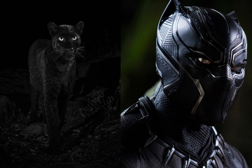 Real-Life Rare Black Panther Found Near 'Wakanda' May Not Be The First Sighting In 100 Years