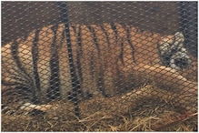 Pot Smoker Enters Abandoned House in US to Get High, Finds Tiger Instead