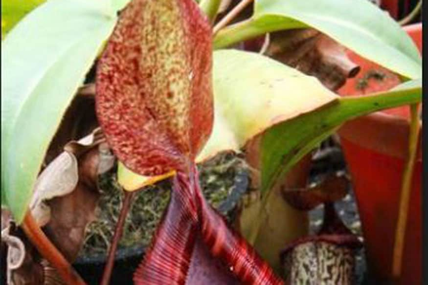 Suki: Fijian Tobacco Plant that Originated in Tamil Nadu may be Less