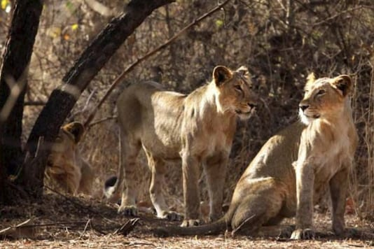 File photo of Asiatic lions.
