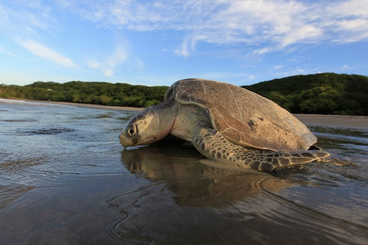 File photo of a Olive Ridley turtle