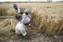Govt Buys 216 Lakh Tonnes Wheat from Farmers at MSP so far, More Than Half of Target