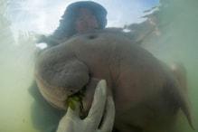 Meet Marium, the Baby Dugong, Who is an Internet Sensation in Thailand