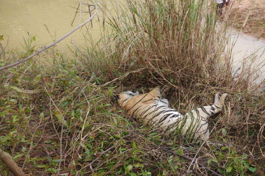 Tigress Found Dead with Multiple Injury Marks in Corbett Reserve