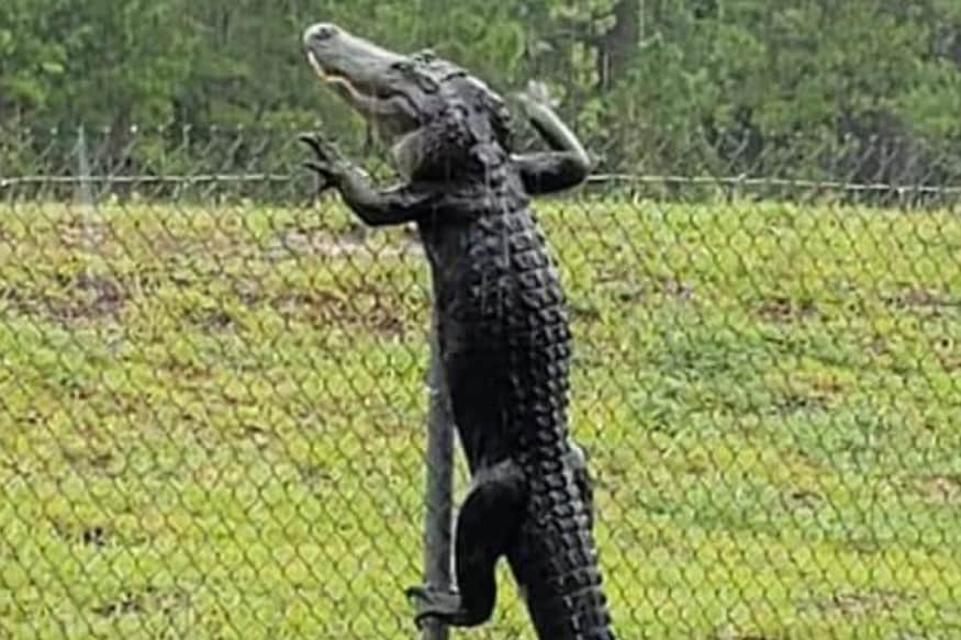 Image result for No Respect for Security Measures, Jokes US Naval Air Station After Gator Climbs over Fence
