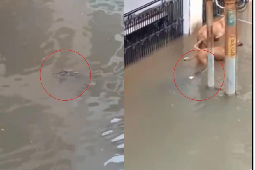 WATCH: Crocodile Swimming in Flooded Residential Area of