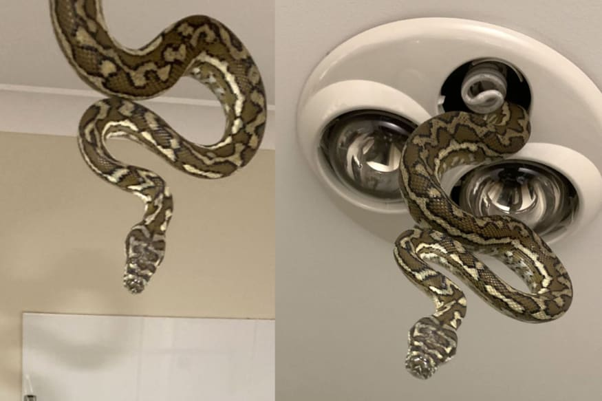 Snaking In: A Giant Python Creeps Into Bathroom as Children are Brushing Teeth