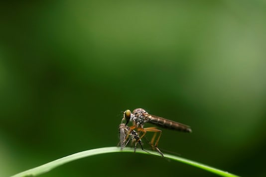 A robber fly also known as an assassin fly eats a mosquito in Dhading, Nepal June 30, 2019. REUTERS/Navesh Chitrakar - RC169A9CCF90