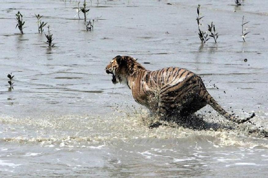 bengal tiger2