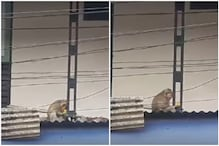 Watch: Monkey Takes Kitten Hostage, Force Feeds it Bananas as Crowd Pleads to Let it Go