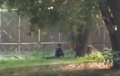 A Man Jumped Inside a Lion Enclosure in Delhi Zoo. Watch What Happened Next