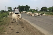Madhya Pradesh Govt Plans to Levy 'Cow Cess' to Fund 'Gaushalas' to House Stray Bovines