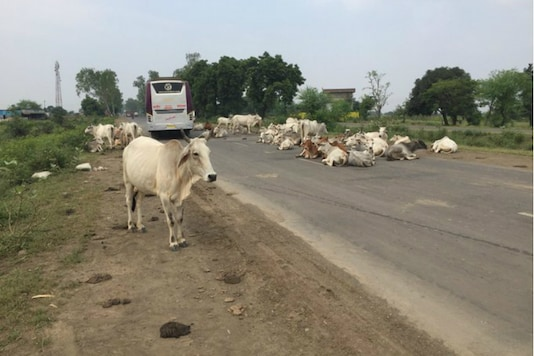 An image tweeted by Congress leader Digvijaya Singh showed cows sitting on a highway. (Twitter/Digvijaya Singh)