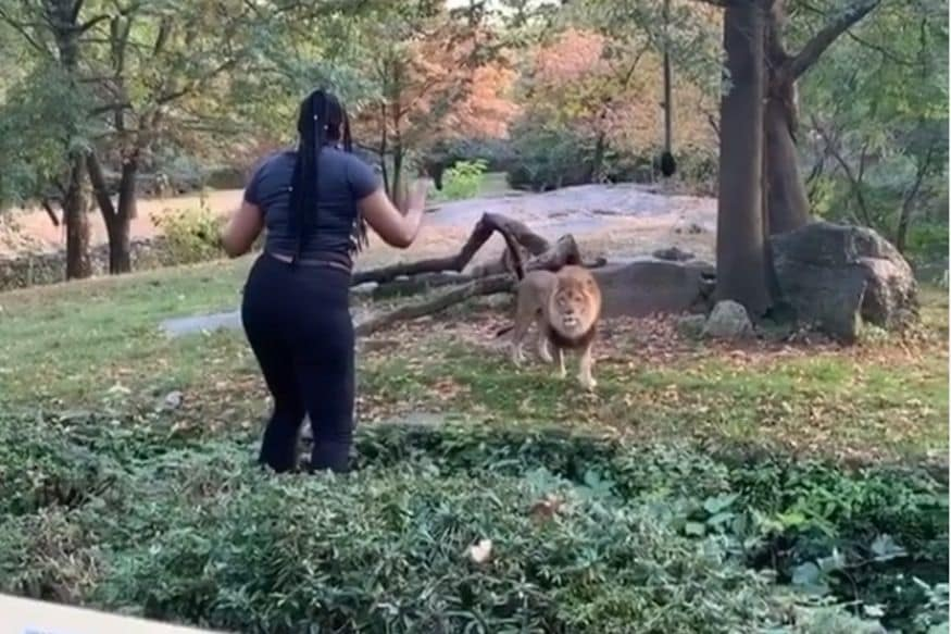 Watch: Woman Taunts Lion After Jumping into Enclosure at New York City Zoo