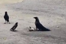 WATCH: Mother Mynah Puts up a Brave Fight Against Vicious Crows to Protect its Baby