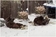 Video of Bear Rolling in Snow with Football Warms Hearts Amidst Incessant Snowfall in Colorado