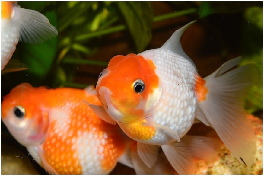 Unable to Bear Weight of its Head, a Goldfish Had to Get an Emergency 'Haircut'