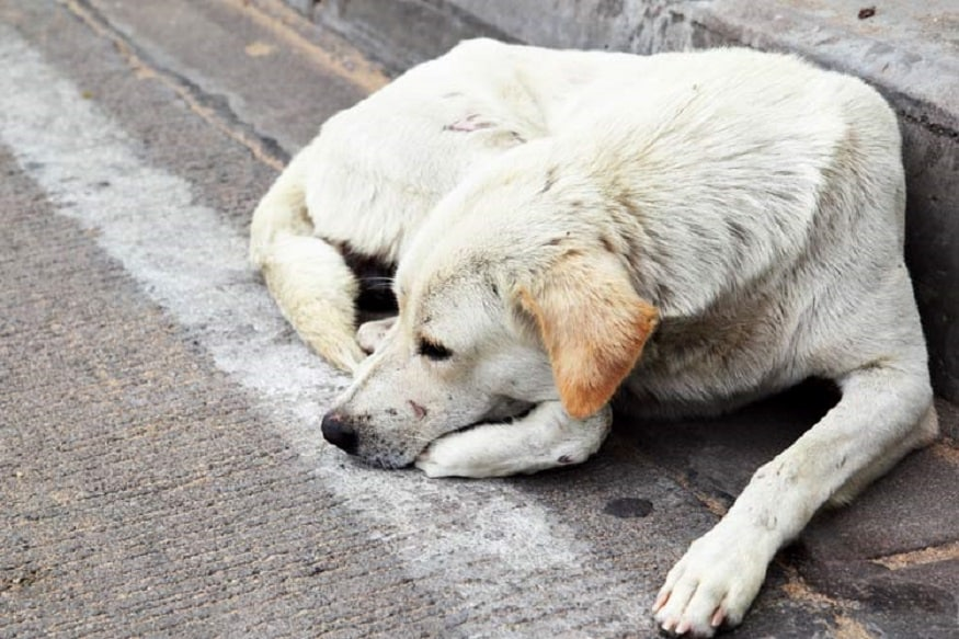 South Delhi Stray Dogs to Don Collars, be Vaccinated as Civic Body Gears Up for Elimination of Rabies