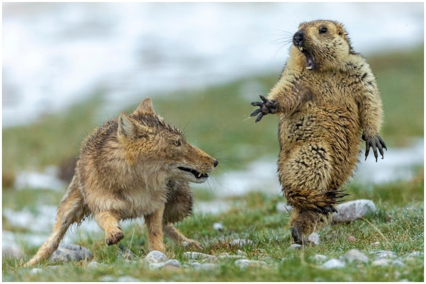 Award-Winning Photo of Startled Marmot Fighting a Fox Spurs Caption Contest