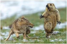 Photo of Spooked Marmot Fighting a Fox Before Being Eaten Wins Award and Twitter