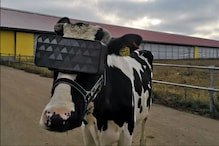 Virtual Reality For Cows is Real and Can Help Increase Milk Production