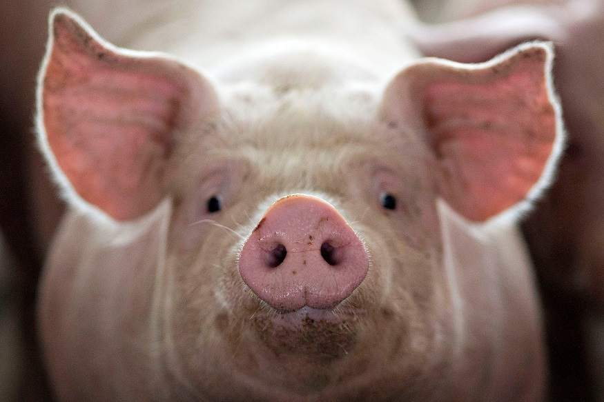 Piglets in Germany Go to Court Over Controversial Practice of Castrating Young Males