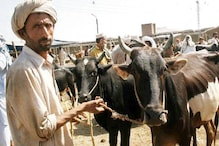 J&K Police Chief Asks Officers to Slap PSA on Bovine Smugglers, PDP Leader Calls Move 'Anti-Muslim'