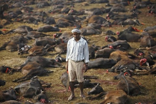 """A butcher holding his blade stands among sacrificed buffalos inside an enclosed compound during the sacrificial ceremony of the """"Gadhimai Mela"""" festival held in Nepal. (Reuters)"""