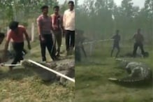 Watch: Massive 12-Foot-Long Crocodile Rescued from Canal in Vadodara