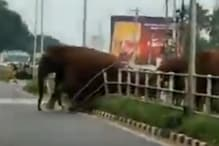 WATCH: Elephant Matriarch Clears Coimbatore Highway Divider for Family, Brings Traffic to Halt
