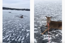 WATCH: Ice Skater Risks Life to Save a Family of Deer Stuck in Frozen Lake in Canada